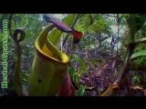 Непентес - плотоядное растение хищник дикий мир и поведение животных в нем