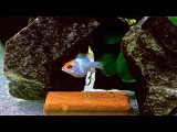 RAM Electric Blue Orange Head. Spawning.