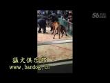 Собачьи бои булли кутта Рэд vs питбуль HD