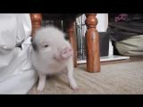 Micro pig goes Twerk, Twerk, Twerk to Work, Work, Work