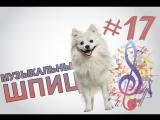 Музыкальный шпиц #17 (6 sec)