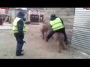 Менты гоняют на Осле Полицейские ездят на Осле Угарное Видео