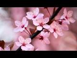 Zen Garden &amp Relax Music - Stunning Cherry Blossom Sakura - 2 Hours - Sleep Relaxing - 1080P HD