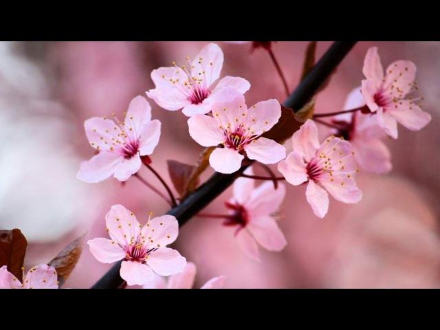 Сад Дзен и музыка релакс. Потрясающая сакураю Zen Garden Relax Music - Stunning Cherry Blossom Sakura - 2 Hours - Sleep Relaxing - 1080P HD