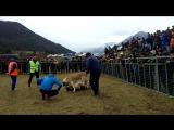 собачьи бои в КЧР волкодав