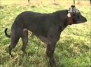 Strongest dog in the World Wendy the Whippet By Animal planet