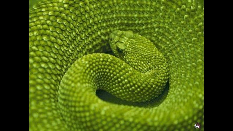 Змеи гиганты.