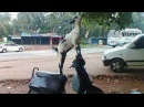 Crazy Goat Best Funny Animals 2016