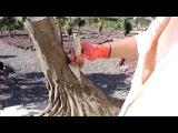 Лепка из цемента, Тенерифе, канарское дерево