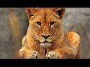 Последняя львица Документальные фильмы National Geographic HD