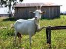 Нано технологии или дойка козы