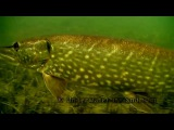 Pike vs Cannibal Shad fishing with lure soft-bait attacks underwater. Рыбалка на силикон атака щуки