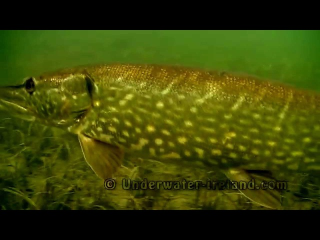 Pike vs Cannibal Shad: fishing with lure soft-bait attacks underwater. Рыбалка на силикон атака щуки