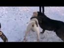 Булли кутта Брут VS волкодав (собачьи бои) часть 1