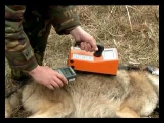 Мечение волка в Чернобыльской зоне. Беларусь