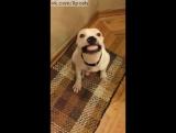 Спасённая собака улыбается по команде / Rescue Dog Smiles From Ear To Ear On Command