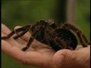 Дикообразы и пауки птицеяды