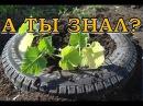 Высаживаем кабачки в покрышки Пошаговая инструкция