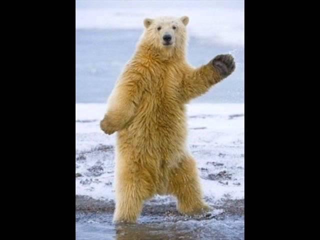 Dancing polar bear Танцующий белый медведь