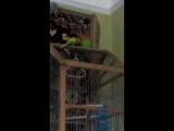 Попугаи неразлучник и волнистый