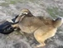 Собачие Бои Видео Файлы C_A_H_E_K11