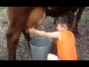 Little Baby Girl Is Milking Cow...! - Sweet Girl