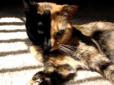Venus the Chimera split face, two face, odd eye, 2 diff color eyes... cat gone viral