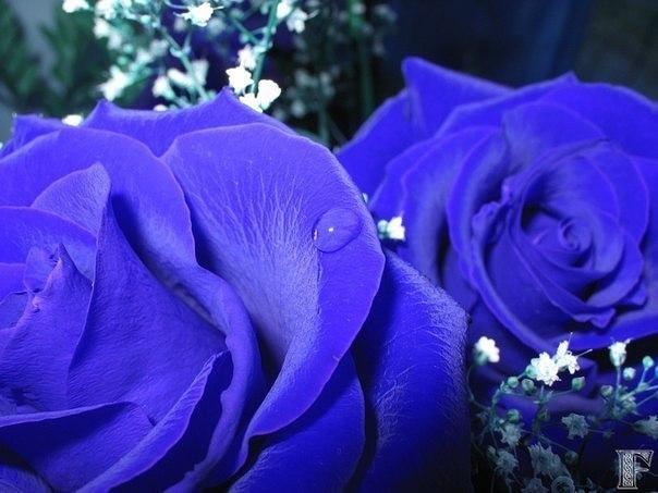 Синие розы на самом деле существуют. Это скрещенные гены белой или чёрной розы с...