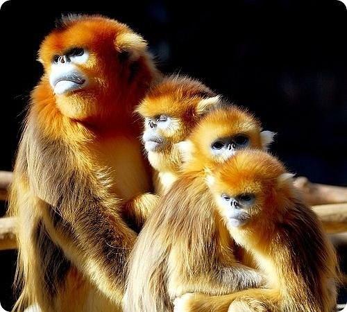 Золотистая обезьянка.