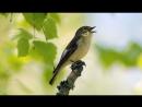 Pied flycatcher Song Мухоловка пеструшка Песня Ficedula hypoleuca
