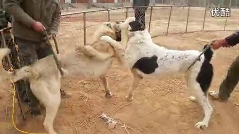 Алабай Vs Кангал Fighting Dogs Собачьи бои Alabai CAO против Kangal