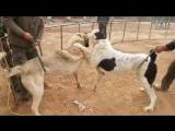 Алабай Vs Кангал (Fighting Dogs) Собачьи бои: Alabai/CAO против Kangal