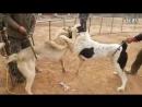 Алабай Vs Кангал Fighting Dogs Собачьи бои Alabai/CAO против Kangal