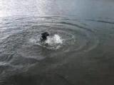 Доберман плавает