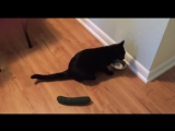 Реакция котов на огурцы ч.3