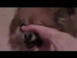 Животные поют Linkin Park Numb ★ DOG COVER ★