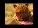 Большие кошки. Львы, гепарды, леопарды. Часть 1