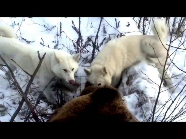Perro de caza vs de jabalí - caza de leones con perros - caza de jabali
