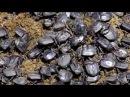 Правдивые факты о навозном жуке