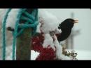 Чёрный дрозд на рябине