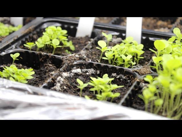Часть 1.2. С момента посадки семян табака прошло 19 дней (сезон 2014)