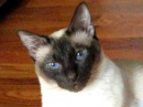 Talking Siamese Cat VERY talkative! She answers all my questions!