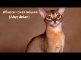 Породы кошек/ч. 1/ Абиссинская кошка/ Abyssinian/ Котэ Саратовский. Все о кошках.