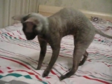Мистер Патрик (Корниш рекс) прикол с котом ржака смешное видео_супер прикол