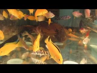 Аквариумные рыбки (лабидохромис, парчовый сом, мистусы и др.) Спешите в зоомагазин ИП Леончик О.Ф. по ул.Ленина, 191/1. А также