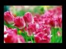 Тюльпаны Ион Суручану
