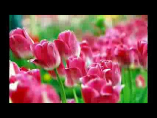 Тюльпаны Ион Суручану.