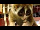 Ecco il Loris lento, l'animale più carino del mondo!