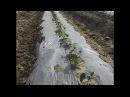 Технология выращивания огурца с применением различных методов.