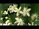 Мелкоцветковый клематис для живой изгороди